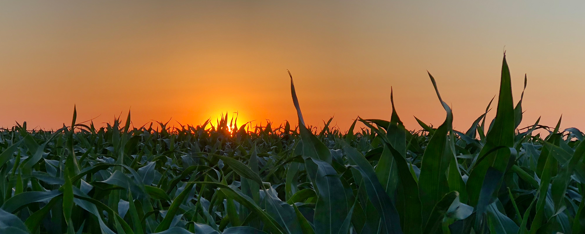 sunset on corn